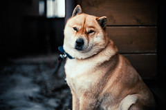 Jiro (moaan) Tags: winter dog cold 50mm dof bokeh f14 shy utata aomori oma chill camerashy watchdog  jiro hokkaidoken 2013 thelittledoglaughed ef50mmf14lusm  ainudog   canoneos5dmarkiii capeoma idlportraits