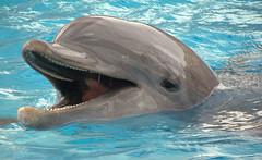 Dolphin: Texas State Aquarium: Corpus Christi, Texas (TX) (Floyd Muad'Dib) Tags: animal animals geotagged mammal star aquarium texas state dolphin corpuschristi tx dolphins lone christi floyd corpus mammals muaddib corpuschristitx lonestarstate texasstateaquarium corpuschristitexas floydmuaddib floydmuad