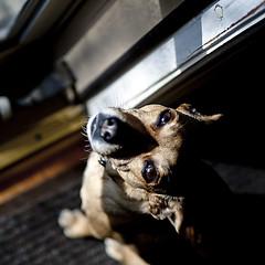 luna in her sun spot (vrot01) Tags: dog pet chihuahua luna explore dynamicrange tamron canon5dmkii jackwawa