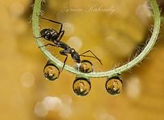 Aroon Kalandy Antics........ (aroon_kalandy) Tags: light macro beauty lights asia artistic sony ant antics waterdrops sipping kozhikode aroonkalandy