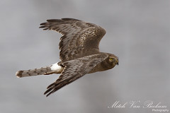 No Time To Think [Explored] (Mitch Vanbeekum Photography) Tags: inflight harrier wallkill nwr northernharrier circuscyaneus warwickny wallkillriver libertyloop femalenorthernharrier canon5dmkiii canonef500mmf4is canon14teleconvertermkiii