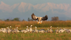 Bar headed goose (zahoor-salmi) Tags: camera pakistan macro nature birds animals canon lens photo tv google flickr natural action wildlife watch bbc punjab wwf salmi walpapers chanals discovry beutty bhalwal zahoorsalmi thewonderfulworldofbirds blinkagain