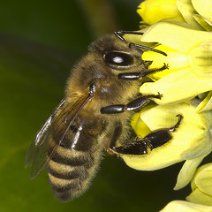 The first bees are active again! (pe_ha45) Tags: bee ourgarden biene mahonie unsergarten wildbiene