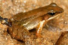 Crossodactylus caramaschii (Techuser) Tags: macro nature water animal river rainforest close amphibian frog sapo mata atlantica zizo anura raynox anfibio canon7030056i