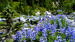 Flowers of Blue (realvision) Tags: blue mountain flower washington paradise mt rainier wa lupins nex