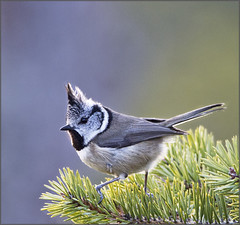 Crested tit rim-lit (kimbenson45) Tags: black green bird animal pinetree grey scotland bush wildlife gray feathers needles cairngorms crestedtit naturesimages