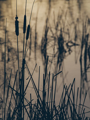 pond. (angsthase.) Tags: sunset water silhouette reflections germany deutschland weeds wasser bokeh nrw dailylife ruhrgebiet dortmund ruhrpott mft micro43 olympusm40150mmf4056 epl5 olympuspenepl5