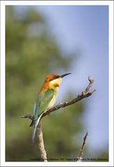 IMG_4553 (Harsha Matarage) Tags: pictures bird nature photo asia photos pics wildlife snaps srilanka ceylon lk yala chestnutheadedbeeeater meropsleschenaulti yalanationalpark harshadesilva harshamatarage