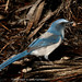 "Scrub Jay-8974<br /><span style=""font-size:0.8em;"">A Scrub Jay with nut it found</span> • <a style=""font-size:0.8em;"" href=""http://www.flickr.com/photos/18570447@N02/8546120147/"" target=""_blank"">View on Flickr</a>"