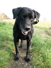 Pongo (Soggy Semolina) Tags: dog animal labrador blackdog retreiver labradorretreiver
