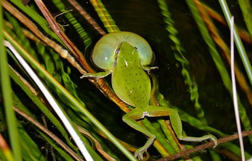 Mediterranean Treefrog (Hyla meridionalis) calling