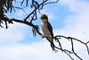 Kookaburra (Malleeroute) Tags: lake laughing river darling kookaburra dacelo novaeguineae pamamaroo