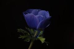 0213. [Explore 53] (Z.Valdi) Tags: flowers flores closeup nikon 365 d90 strobist 365project
