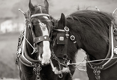 Horse Ploughing Ballycastle (trailie) Tags: horse shire ballycastle horseploughing