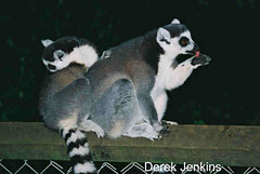 "Lemurs_at_night! • <a style=""font-size:0.8em;"" href=""http://www.flickr.com/photos/86643986@N07/8576182386/"" target=""_blank"">View on Flickr</a>"