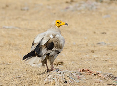 Egyptian Vulture (Aravind Venkatraman) Tags: morning india bird birds nikon indian birding 300mm national egyptian vulture dslr aravind birdwatching f4 birder raptors bikaner birdsofprey nationalgeographic neophron percnopterus birdphotography 14tc neophronpercnopterus egyptianvulture nikondslr birdsindia indiabirds incredibleindia indianbirds birdphotographer dslrnikon nikon300mmf4 avphotography nikon14tc d7000 nikond7000 d7000nikon aravindvenkatraman