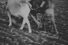 Preparing crop field( Cultivation) (Ami VONDo) Tags: field cow nikon paddy farmers crop bangladesh preparing mehrab saifuzzaman