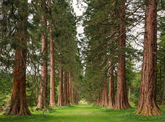 Sequoia Avenue (Philipp Klinger Photography) Tags: park wood uk greatbritain trees red tree green nature grass garden giant scott landscape scotland alley nikon branch angle unitedkingdom britain argyll branches united great wide royal kingdom wideangle gb fir botanic redwood scotch argyle avenue sequoia sco schottland d800 dunoon douglasfir giantsequoia benmore locheck benmorebotanicgarden nikond800 douglar