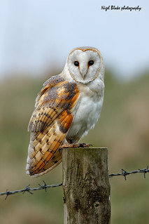 Barn Owl, Tyto alba, perched on a fence post