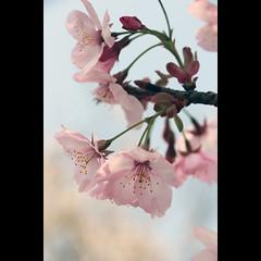 Beijing, Sakura at Yuyuantan Park (Bats on my lips) Tags: china pink primavera eos spring beijing  sakura cherryblossoms   yuyuantanpark  650d fioridiciliegio