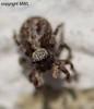 Pseudeuophrys lanigera (Phil Arachno) Tags: hessen spiders spinne taunus arachnida spinnen araneae salticidae eppstein springspinnen pseudeuophryslanigera