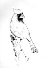cardinal sketch (Chris Wofford) Tags: bird art pen sketch cardinal drawing study penandink wofford chriswofford