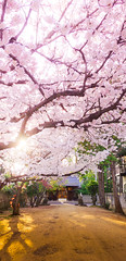 PhoTones Works #2578 (TAKUMA KIMURA) Tags: nature japan cherry landscape spring blossoms 桜 日本 自然 風景 kimura 春 景色 さくら takuma 琢磨 木村 rx100 photones