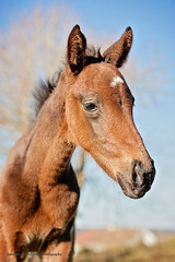 Beneficial filly (Jennifer O'Sullivan Photography) Tags: foal