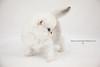 Les Persans de Fannie (Les Persans De Fannie) Tags: cats pets cat gris persian chats kitten chat chinchilla animaux blanc fannie chaton chatons persan