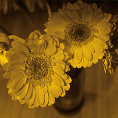 Flowers at the Table 2 (carl marques) Tags: flowers two yellow square plantlife lesfleursdumal springshouldhavesprung