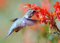 Rufous Hummingbird (Doug Santo) Tags: nature birds hummingbird rufous rufoushummingbird losangelescountyarboretum newarboretum20
