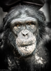 SCO1475 [Explored 6/4/2013] (ScottD Photography) Tags: detail eye face animal pose zoo nikon emotion chimp explore chimpanzee primate colchester d800 specanimal