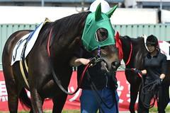 20130405-_DSC5500 (Fomal Haut) Tags: horse japan nikon nagoya 80400mm d4   14teleconverter  d800e