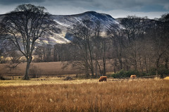 Mortonhall Estate (Jim Monan) Tags: landscape scotland edinburgh cattle pentlands schotland mortonhall hotpix hotpics hotpicks