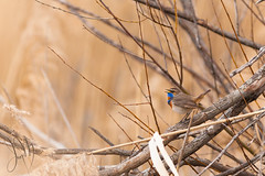 Bluethroat (Emyan) Tags: lake bird nature animals canon spring singing song ukraine kharkiv bluethroat lusciniasvecica