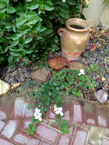 Caper bush: Capparis Spinosa