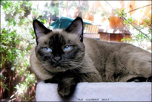 window cat siamese catbirdseat happyfurryfriday misstruffles