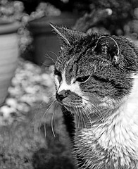 Poppy (Almost 20 yrs) (Nikon D7100) (BW) (markdbaynham) Tags: bw pet white black monochrome digital cat nikon feline poppy cropped format dslr sensor dx apsc d7100