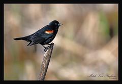 Red-winged Blackbird (Agelaius phoeniceus) (Mitch Vanbeekum Photography) Tags: red black male bird wing winged nwr redwingedblackbird agelaiusphoeniceus wallkillriver sussexnj woodducknaturetrail thewonderfulworldofbirds canon5dmkiii canonef500mmf4is canon14teleconvertermkiii