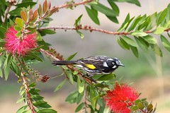 New Holland Honeyeater 9176 (Malcolm NQ) Tags: bird tasmania bottlebrush mountwellington newhollandhoneyeater phylidonyrisnovaehollandiae geo:country=australia taxonomy:binomial=phylidonyrisnovaehollandiae