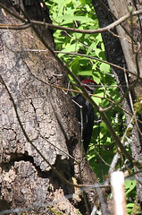 Male Pileated Woodpecker One (artlessfun) Tags: male bird washington kalama dryocopuspileatus pileatedwoodpecker excavating artlessfun canoneosrebelt3i cowlitzcountywa img14665