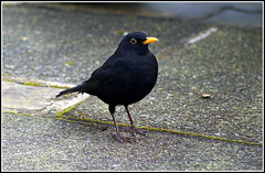 Turdus merula (The Old Brit) Tags: nature birds wildlife turdusmerula blackbird eurasianblackbird ornothology maleblackbird commonblackbird