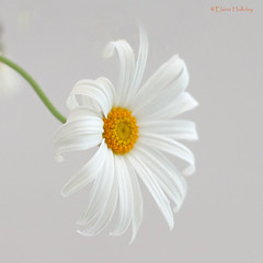 The daisy's for simplicity and unaffected air (loobyloo55) Tags: flowers white flower yellow flora daisy flowerthequietbeauty
