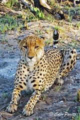 cheetah7 (acinonyx jubatus) (Colin Pacitti) Tags: cheetah acinonyxjubatus malecheetah carnivore predator wildanimal animal cat outdoor theokavango botswana coth fantasticwildlife coth5 hennysanimals sunrays5