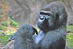 ansiada libertad (FMEGS) Tags: zoo gorila animal liberty tenerife hdr tanrom nikon d3000
