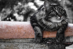 Chat boudin (ori.flammes) Tags: chat cat dramatic lovely bw noir et blanc