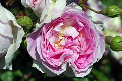 Maig_1264 (Joanbrebo) Tags: canoneos70d efs18135mmf3556is eosd autofocus 16concursinternacionalderosesnovesdebarcelona barcelona blumen blossom garden jard jardn parc park parque parccervantes flores flors flowers fiori fleur