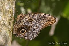 Borboleta (Stefan Lambauer) Tags: borboleta buterfly borboletrio fozdoigua parquedasaves birds tourism turismo parquenacionaldoigua stefanlambauer 2016 brasil brazil paran br