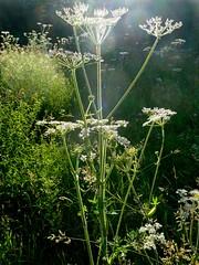 Hedge Parsley (John of Wirral) Tags: hedgeparsley umbelliferae torilisjaponica woodland wales flora