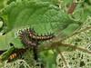 Chlosyne lacinia (Geyer, 1837) (carlos mancilla) Tags: chlosynelacinia insectos mariposas butterflies orugas caterpillars olympussp570uz mariposaparchenaranja chlosynelaciniageyer1837 borderedpatch